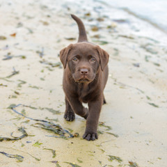 Dog labrador, chocolate puppy sitting on the sand