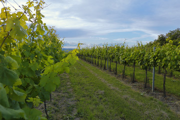 Vineyard in Lower Austria