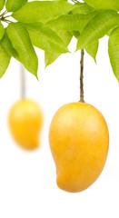 Mango on tree isolated white background