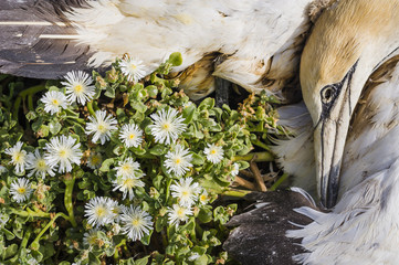 A dead Cape Gannet lies amongst small succulent flowers that its