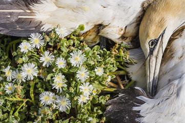 A dead Cape Gannet lies amongst small succulent flowers that its