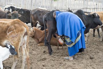Maasai female milking a cow in Tanzania, using a gourd as a container.