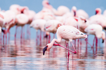 Lesser Flamingoes along the shoreline of Lake Nakuru