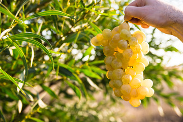 Man´s hand holding a bunch of ripe white grapes in the sunlight, in a green field background, near green tree leaves, close up