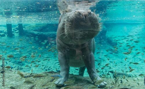 Hippopotamus In Busch Gardens Tampa Bay. Florida.