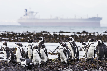 An Iron-ore tanker and African Penguins