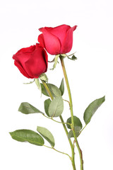 Closeup of red rose on the white background