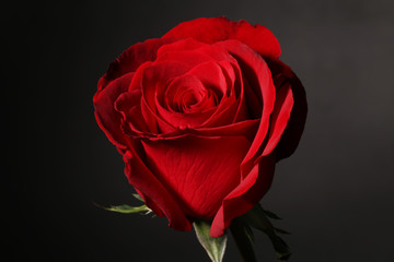 The closeup of a red rose on black.