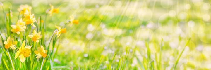 Foto op Plexiglas Narcis Daffodils