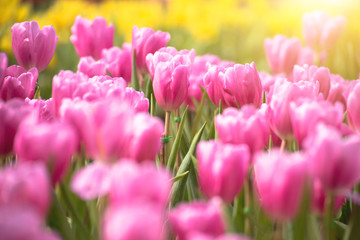 Beautiful bouquet of pink tulips flower in selective focus with yellow tulips background and flare of sun