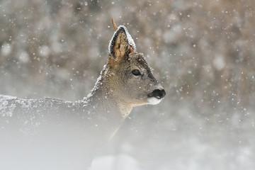 Roe deer in snowfall, winter