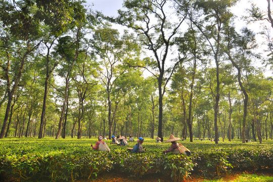 Women tea garden workers pluck tea leaves  in Assam - India