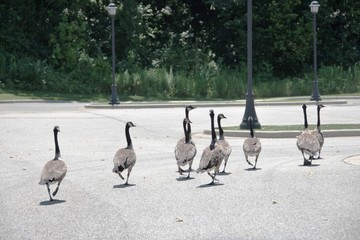 Geese on Parking Lot