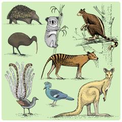 set of australian animals engraved, hand drawn vector illustration in woodcut scratchboard style, vintage drawing species.