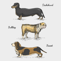 dog breed engraved, hand drawn vector illustration in woodcut scratchboard style, vintage species.
