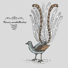 Lyrebird engraved, hand drawn vector illustration in woodcut scratchboard style, vintage drawing species.