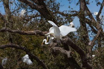 Egrets breeding in a tree