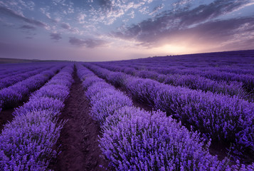 Lavender fields. Beautiful image of lavender field. Summer sunrise landscape, contrasting colors. Beautiful clouds, dramatic sky.