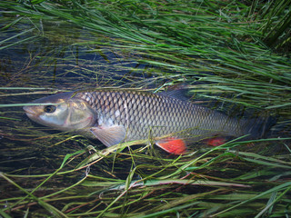 Chub fish in the water. Beautiful  with red fins