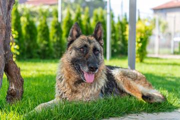 German Shepherd lying on the lawn