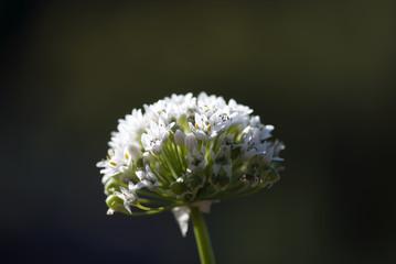 Allium Glow