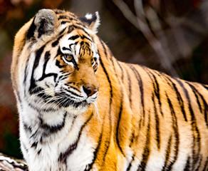 Tiger Play.
