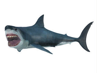 Great White Shark Left Turn - The Great White Shark is the largest predatory shark in the ocean and can grow to 26 feet and can live for 70 years.