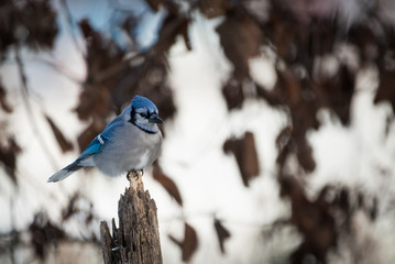 Blue Jay (Cyanocitta cristata) sitting on fence post