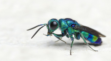 Bee/Bee Beautiful/Cuckoo Wasp