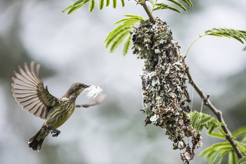 Female Marico Sunbird building her nest