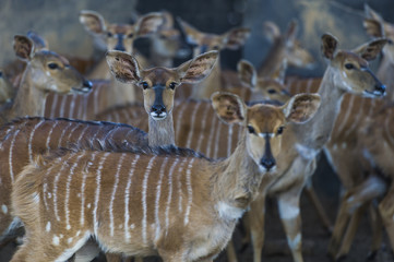 Nyala Game Capture and Capture Bomas