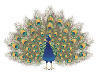 Cartoon Peacock Portrait