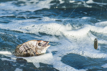 Blacktail fish caught on the line