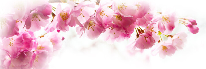 Panorama with beautiful pink flower cherry blossom, sakura Fototapete