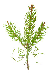 Dried out fir branch after christmas isolated over white backgro