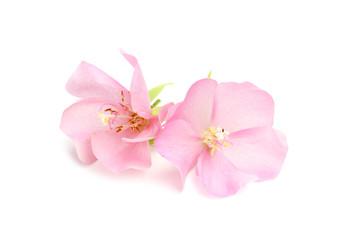 Pink Dombeya flower.