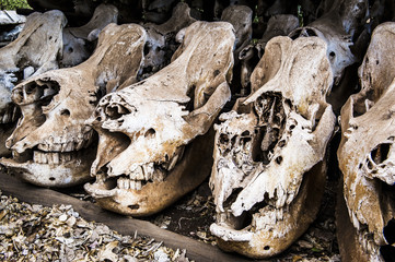 Skulls of poached rhino