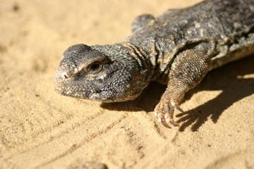 Close up of a big reptile somewhere in the sahara tunisia
