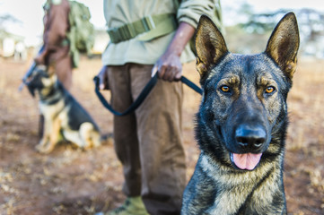 Anti-poaching dog