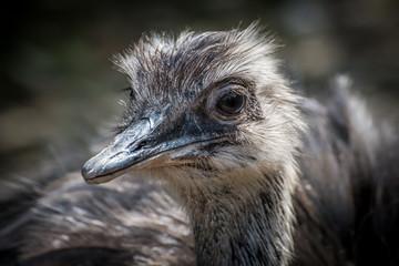 Nahaufnahme eines emu