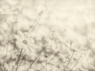 Fototapete - Sepia tone Cosmos Flower in the garden