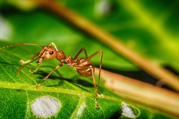 Red ant on leaf Macro view