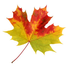 Autumn maple leaf on a white background.