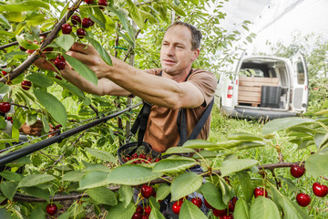 Working in the cherry orchard. Farmer plucks ripe cherries.