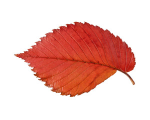 Red and yellow leaf elm isolated on white background.