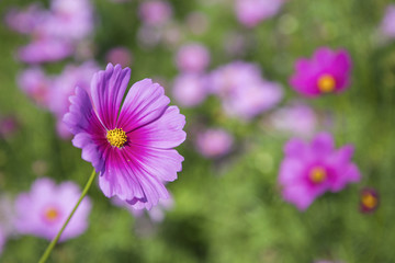 Beautiful pink Cosmos flower garden, outdoor day light