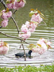 Spring- cherry blossoms and coot on the lake
