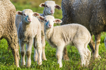 New born Merino lambs stand close to their mothers