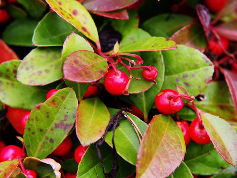 Gaultheria procumbens - eastern teaberry, the checkerberry, the boxberry,  the American wintergreen