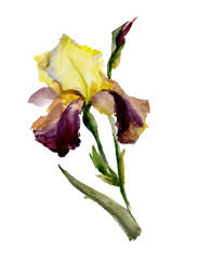 Beautiful purple and yellow iris (flower and bud) on white background. Watercolor painting. Hand painted.